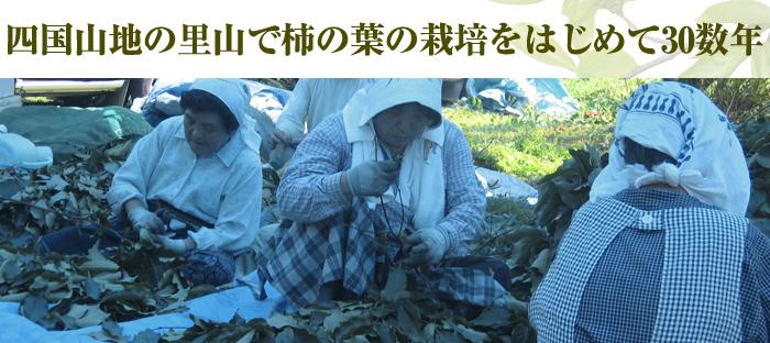 四国山地の里山で柿の葉の栽培をはじめて30数年