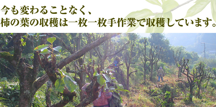 今も変わることなく、柿の葉の収穫は一枚一枚手作業で収穫